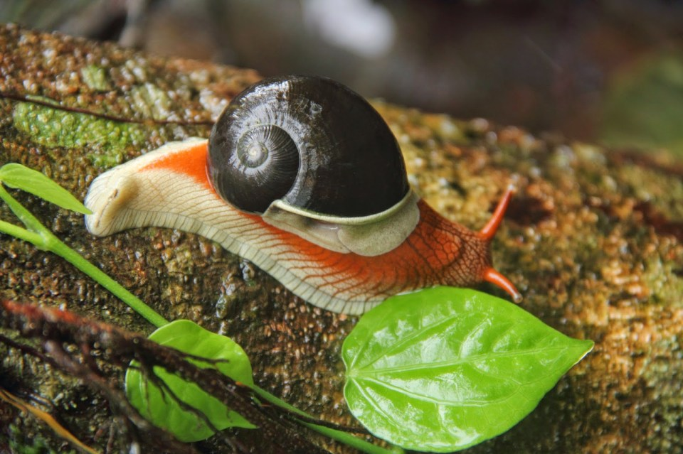 Coorg: Painted snail