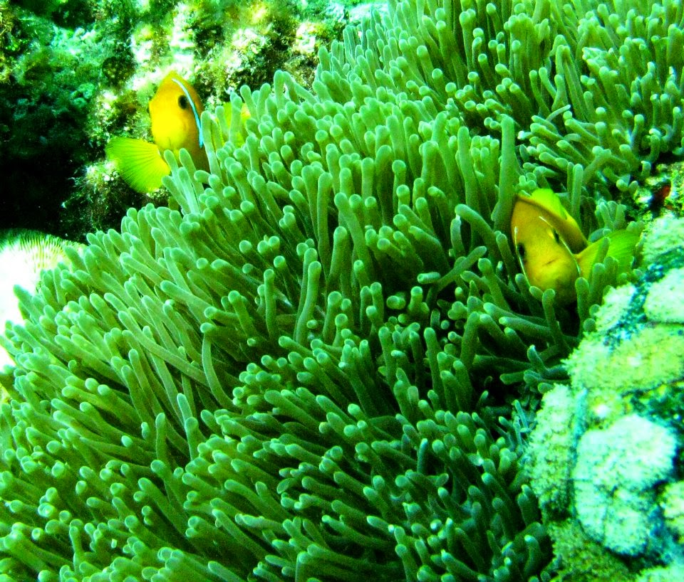 Maldives: We found Nemo!