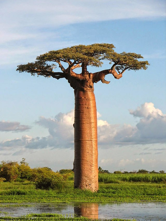 Baobab Tree (Pic: Wikipedia)