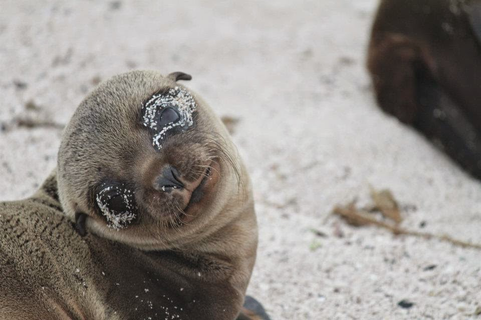 Seal pup at Galapagos
