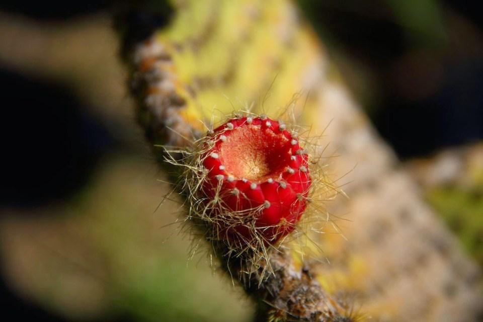 Lokrum Island: Cactus flower at the botanical garden