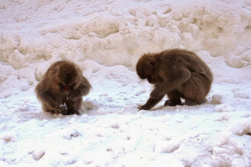 Snow and snow monkeys