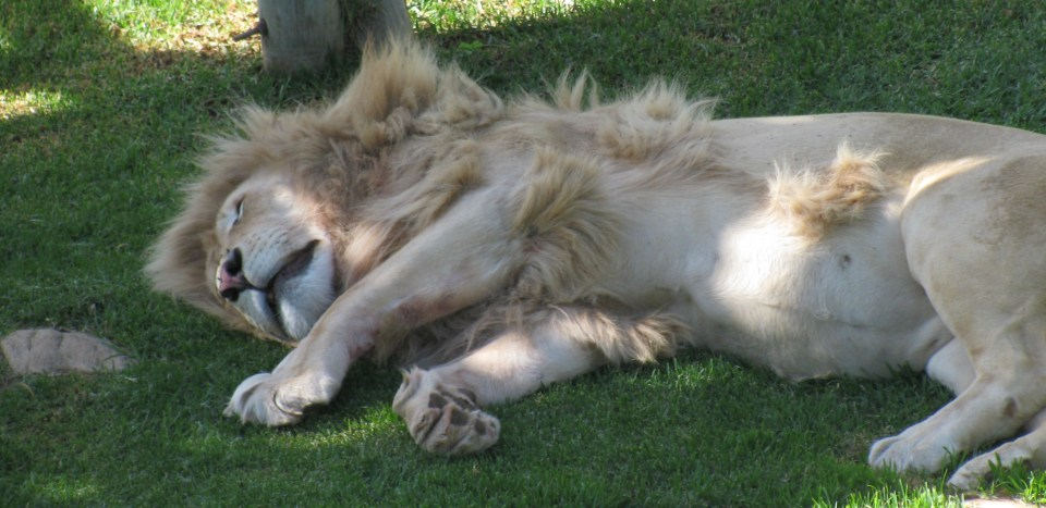 Oudtshoorn: White lion at Cango Wildlife Ranch
