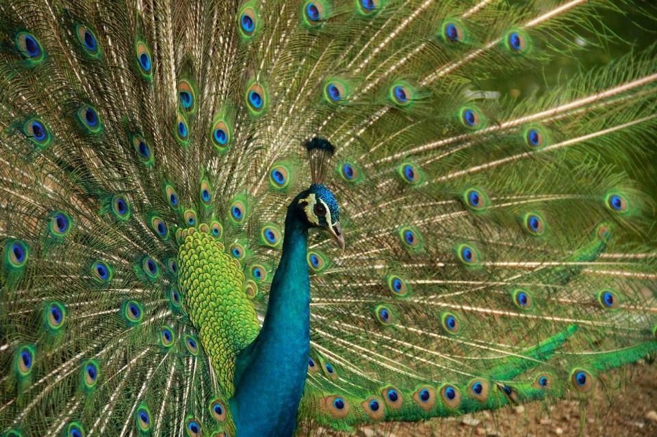 Lucky us - we got to watch a peacock dance!
