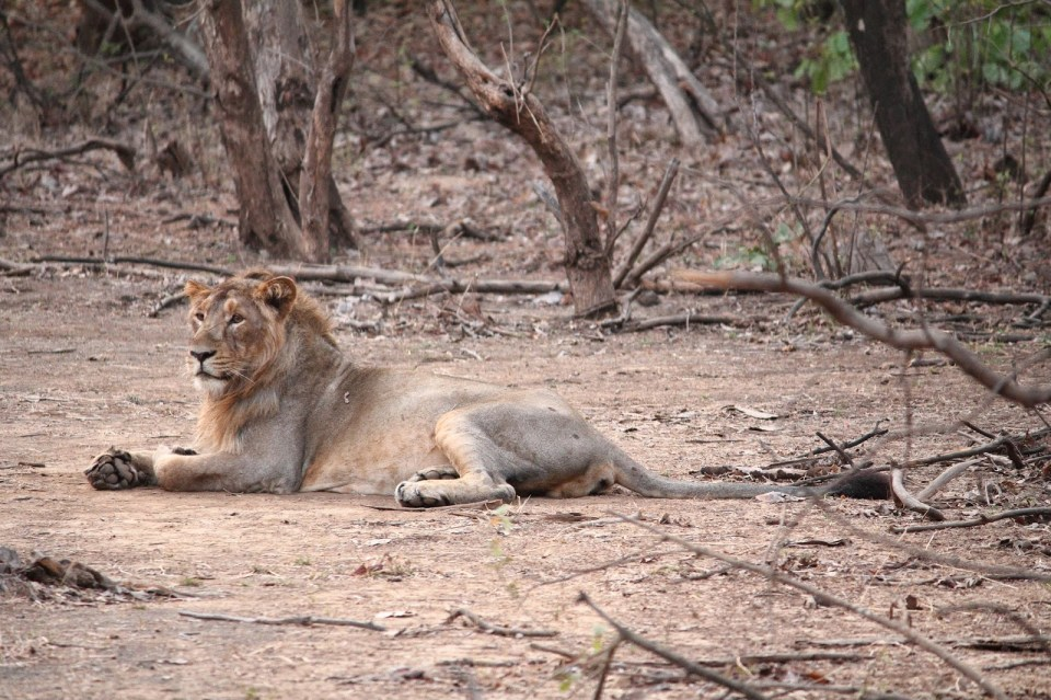'King of the Jungle' at Gir National Park