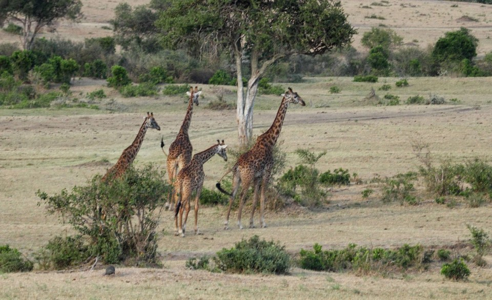 Giraffes at Masai Mara National Park
