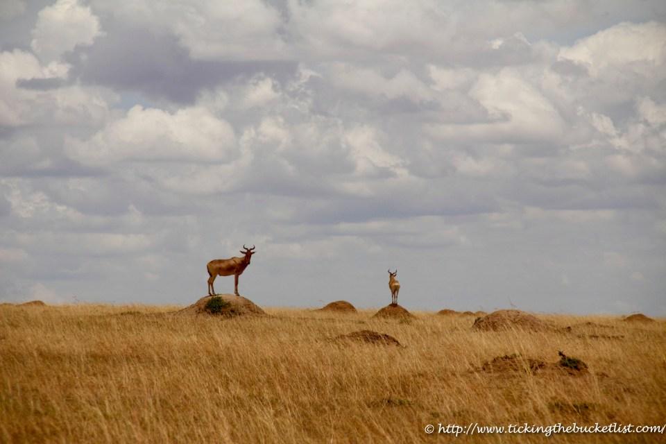 Hartebeest on ant-hills