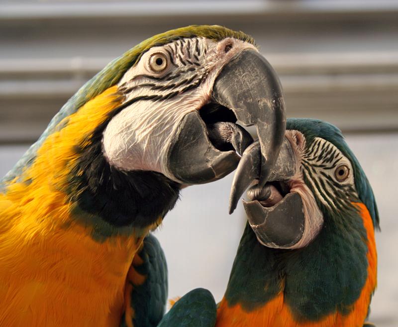 Macaws in Peru