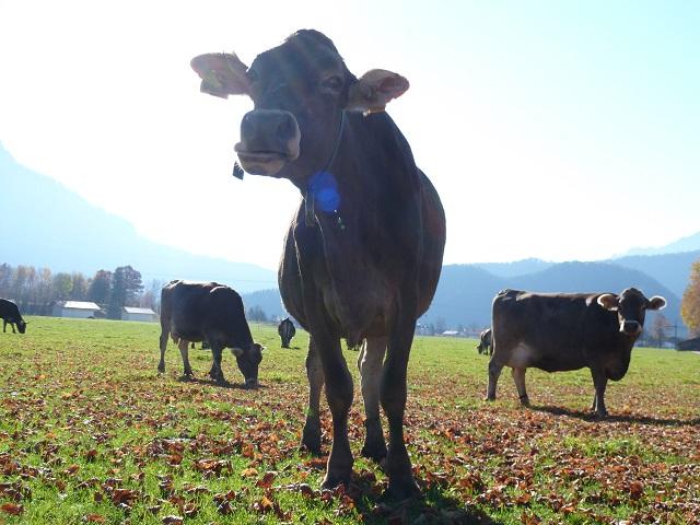 Kuh auf der Weide bei Schwangau im Allgäu