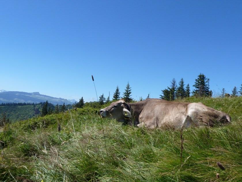 Jungrind im Sommer auf einer Bergwiese im Allgäu