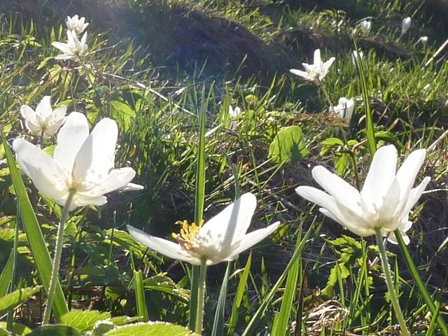 Buschwindröschen in der Abendsonne - Frühlingsblumen im Allgäu