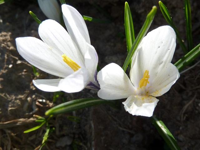 blühend - weiße Krokusse am Hündle