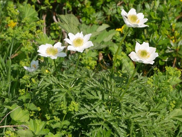 Blüten der Alpen-Küchenschelle