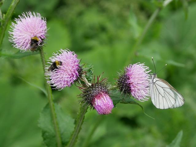 Natur - blühende Alpendistel mit Bienen und Baumweißling #FopaNet