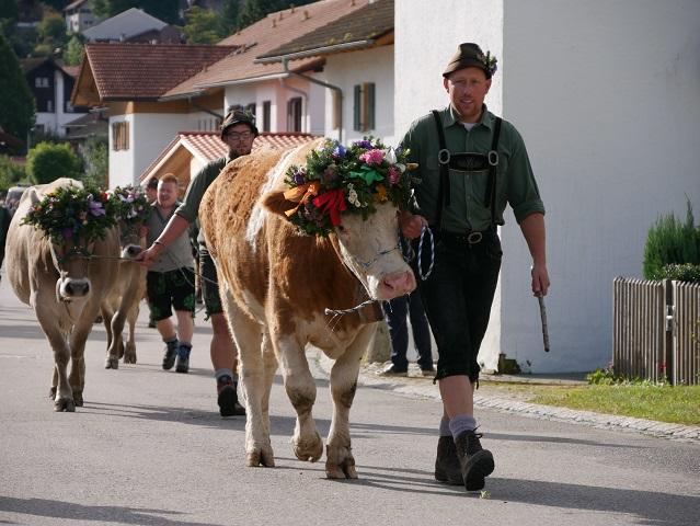 drei Hirten mit geschmückten Rindern