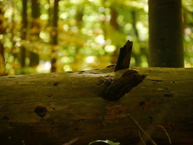 liegender Baumstamm im Herbstwald