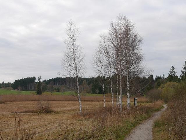 Birken am Elbsee-Rundweg