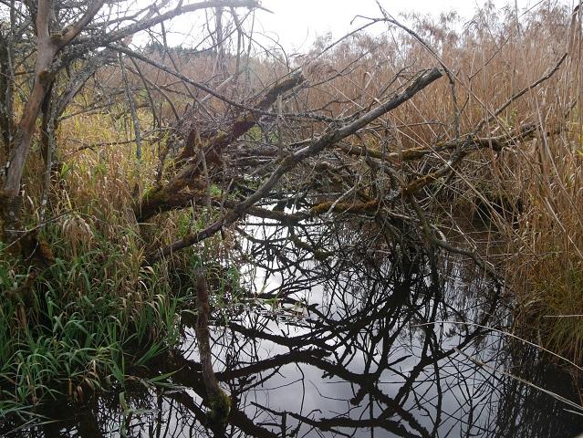 Gehölz und Schilf spiegeln sich im Elbsee-Moor