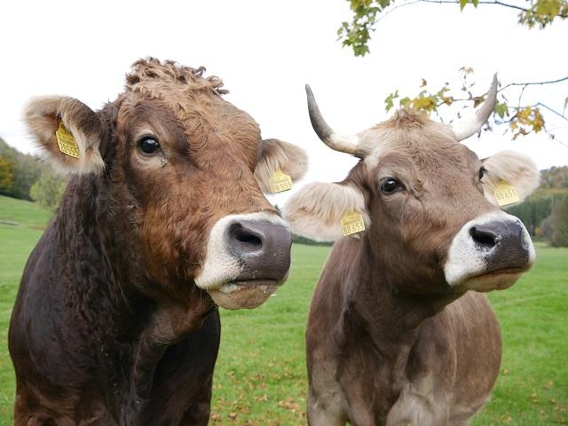 Tiere - Allgäuer Braunvieh im Günztal #FopaNet
