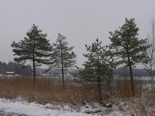 Lärchen und Binsen am Elbsee im Winter