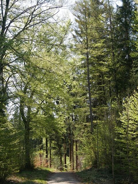 Frühlingswald bei Wildpoldsried