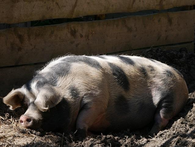 entspanntes Schwein im Bauernhaus-Museum Wolfegg