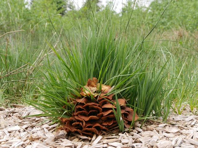 Pilz auf Holzweg