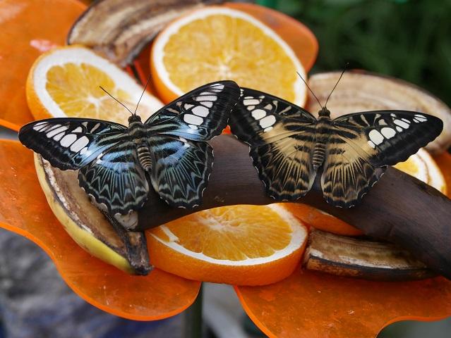 exotische Schmetterlinge in der Schmetterlings-Erlebniswelt Pfronten