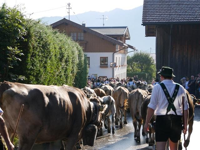 Hirt und Herde von hinten beim Viehscheid Bolsterlang