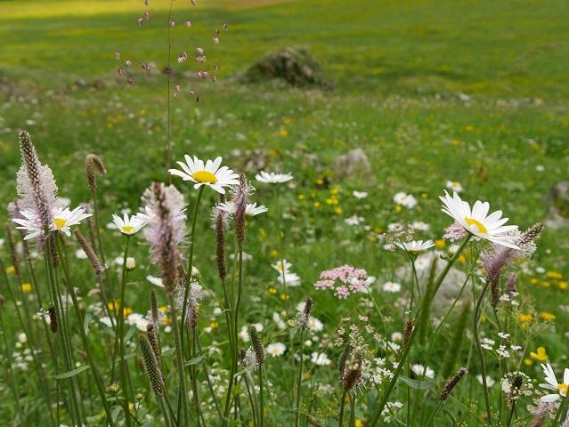 Bergblumenwiese an der Alpe Melköde