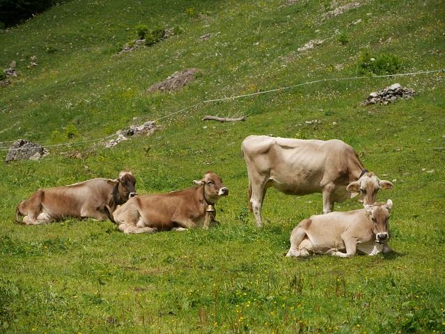 glückliche Kühe an der Alpe Melköde