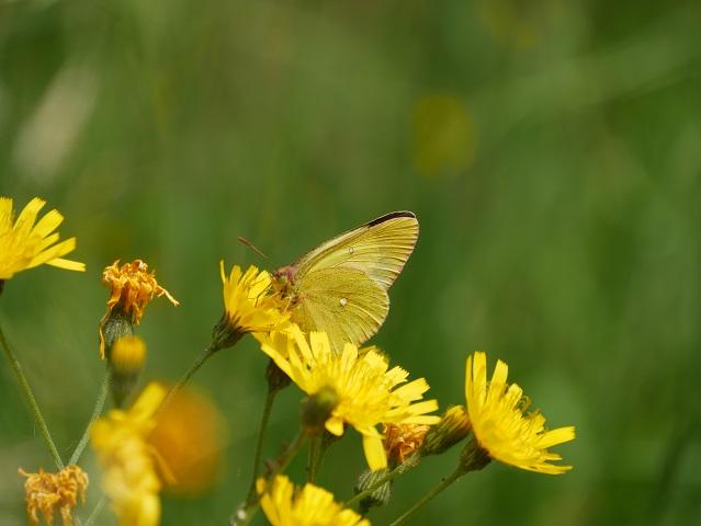 Hochmoor-Gelbling auf Blüte
