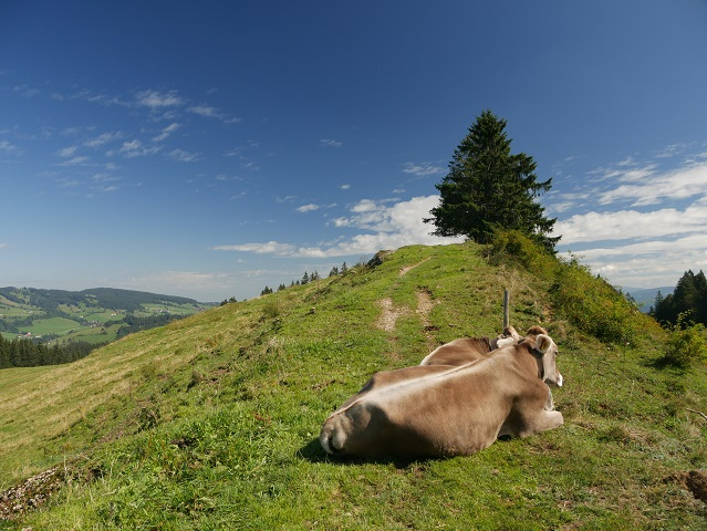 Kühe an der Thaler Höhe