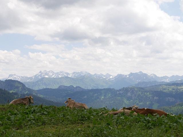 chillende Kühe mit Allgäu-Panorama