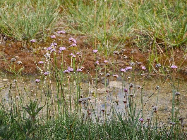 endemische Riedgrasnelke im Benninger Ried