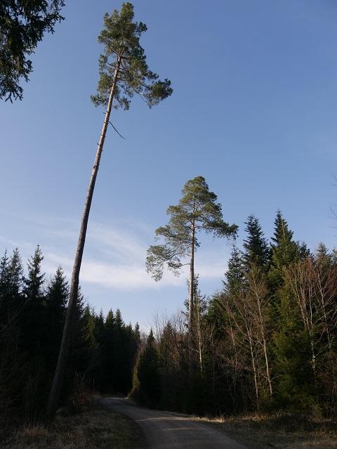 Waldweg im Königsberger Forst