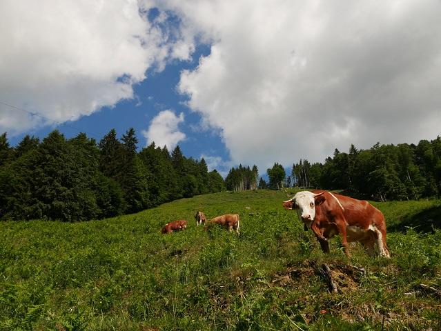 Kühe auf einer Alpweide