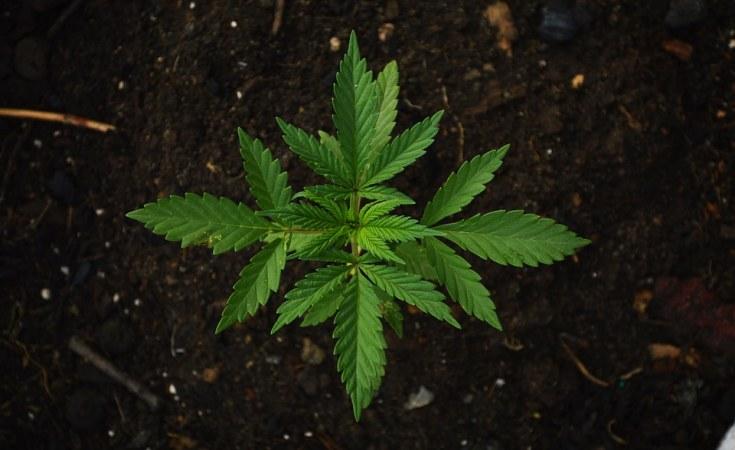 Uganda: EU Approves Uganda's Bid to Export Marijuana
