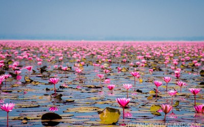 Red Lotus Sea in Udon Thani, Thailand