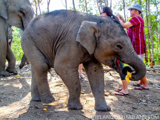 One Year Old Elephant at Elephant Jungle Sanctuary