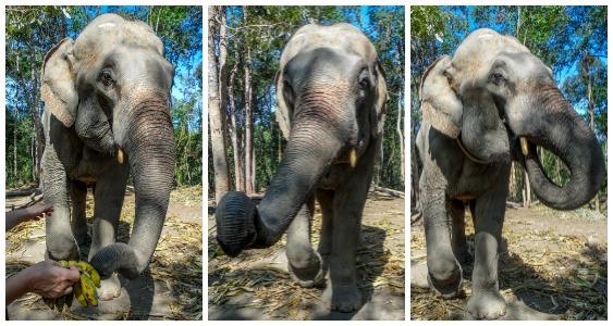 Enjoying bananas at Elephant Jungle Sanctuary