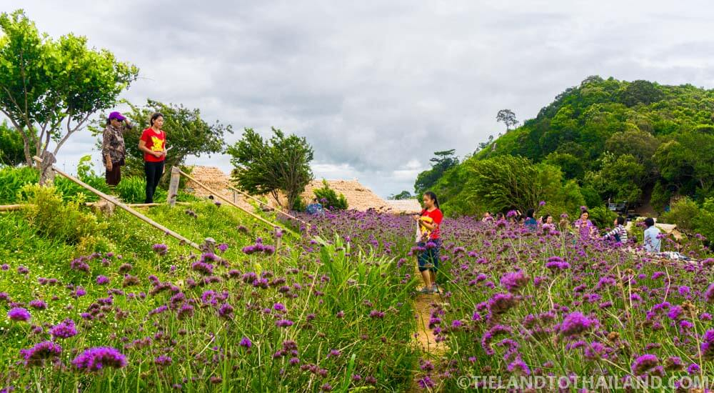 Purple flower gardens at Mon Cham