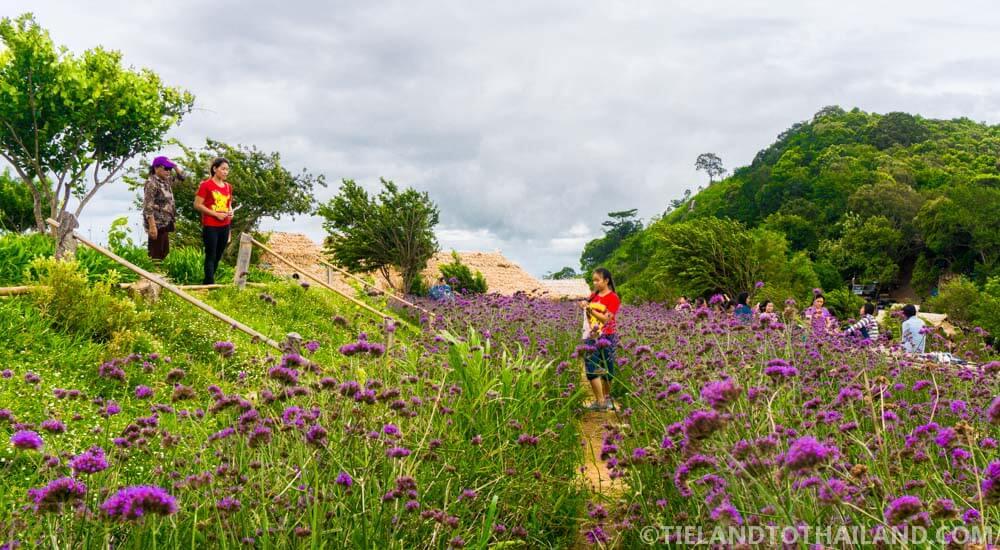 Purple flower gardens at Mon Cham