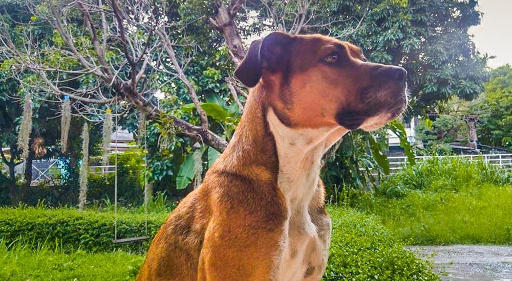 Adopted dog from Chiang Mai, Thailand