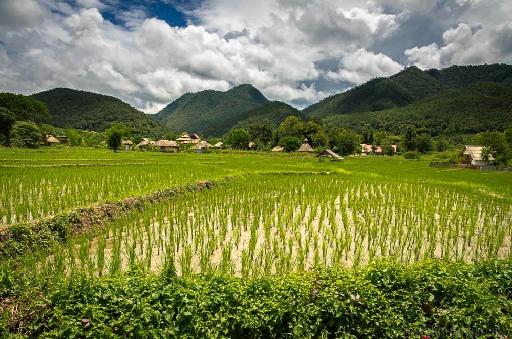 Rice Fields Rainy Season Thailand