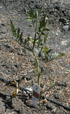 An unhappy-looking Sungold tomato plant. I'm giving it a little fertilizer to see if it helps.