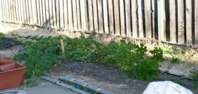 zucchini 6-27