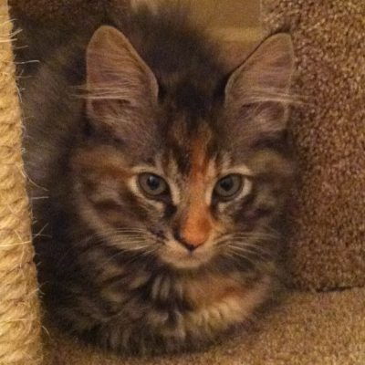 Tigress, the adorable kitten