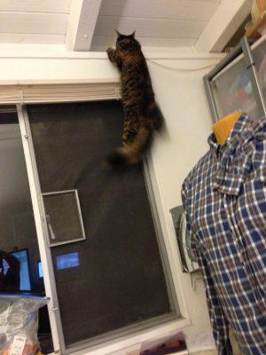 Tigress climbing past the blinds