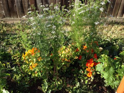 blooming cilantro and nasturtiums